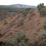olivar sostenible